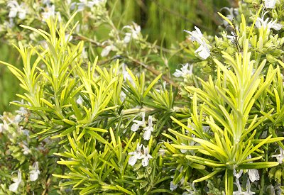 Rosmarinus officinalis Golden Rain Rosemary image