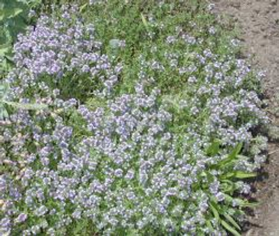 Thymus Coconut Thyme image