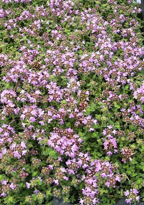 Thymus Hall's Woolly Thyme image