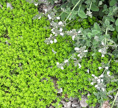 Thymus Lime Thyme image