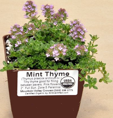 Thymus Mint Thyme image