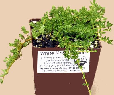 Thymus White Moss Thyme image