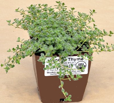 Thymus Woolly Thyme image